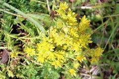 Alpina di Androsace - fiori selvaggi del ` s della dolomia Immagini Stock Libere da Diritti