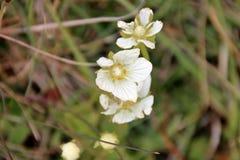 Alpina di Androsace - fiori selvaggi del ` s della dolomia Fotografie Stock
