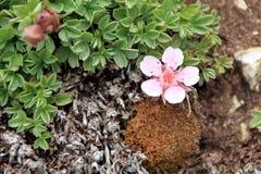 Alpina di Androsace - fiori selvaggi rosa del ` s della dolomia Immagini Stock