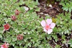 Alpina di Androsace - fiori selvaggi rosa del ` s della dolomia Immagine Stock Libera da Diritti