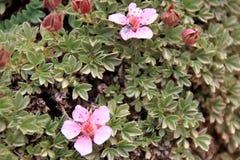 Alpina di Androsace - fiori selvaggi rosa del ` s della dolomia Immagine Stock
