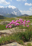 Alpina di armeria Fotografie Stock Libere da Diritti