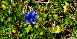 Alpina gentiana Image libre de droits
