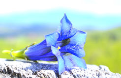 Alpina genziana Fotografia Stock