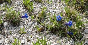 Alpina genziana Fotografia Stock Libera da Diritti