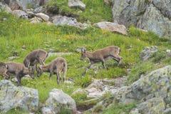 Alpina getter på vaggar, monteringen Bianco, monteringen Blanc, fjällängar, Italien Fotografering för Bildbyråer