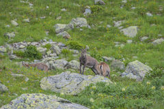 Alpina getter på vaggar, monteringen Bianco, monteringen Blanc, fjällängar, Italien Arkivbild