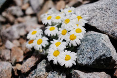 Alpina kamomillar, blomma Royaltyfria Bilder