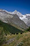 Alpina kor Arkivbild