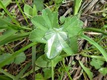 Alpina ladys täcker det gröna bladet med en waterdrop arkivfoton