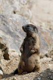 Alpina latirostris för murmeldjurMarmotamarmota på vagga Royaltyfri Foto