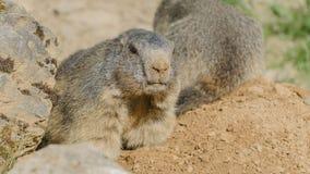 Alpina murmeldjur Arkivfoto