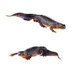 Alpina newts (Triturusalpestris) Arkivfoton