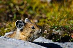 Alpina Pika Royaltyfri Foto