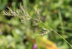 Alpina Poa, αλπικό meadow-grass, αλπικά bluegrass Στοκ Εικόνα