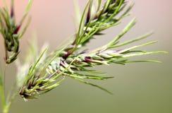 Alpina Poa, αλπικό meadow-grass, αλπικά bluegrass Στοκ εικόνες με δικαίωμα ελεύθερης χρήσης