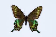 Alpina svarta Swallowtail, papiliomaackii som isoleras på vit arkivbild