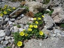 Alpina växter Royaltyfria Bilder