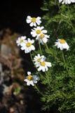 Alpina vita blommor Fotografering för Bildbyråer