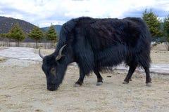 Alpina yak i coutry Shangri-La arkivbild
