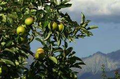 Alpine Äpfel Lizenzfreie Stockfotografie