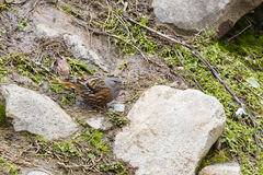 Alpine Accentor. A pretty little bid about the size of a robin with gray head, black, brown and white speckled wings and underside, this insectivorous passerine Stock Photography