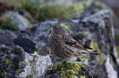 Alpine accentor. Prunella collaris, one bird on rock Royalty Free Stock Photography