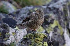 Alpine accentor. Prunella collaris, one bird on rock Stock Images