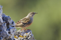 Alpine Accentor. An Alpine Accentor (Prunella collaris) perched on a rock with blurred natural background, Andalusia, Spain Stock Images