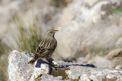 Alpine Accentor. An Alpine Accentor (Prunella collaris) perched on a rock in the high mountains of Andalusia, southern Spain Royalty Free Stock Images