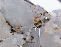 Alpine Accentor on rock. An Alpine Accentor (Prunella collaris) in it's characteristic winter habitat in northern Spain: lichen and moss-covered rocks with Royalty Free Stock Image
