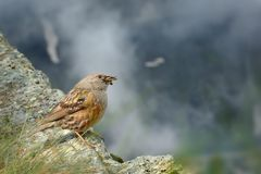 Alpine Accentor - Prunella collaris. Sitting on the cliff and watching to the valley in Alps Stock Photos