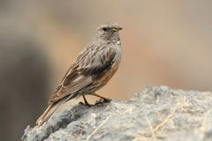 Alpine Accentor - Prunella collaris. Sitting on the cliff and watching to the valley in Crete Royalty Free Stock Photos