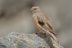 Alpine Accentor - Prunella collaris. Sitting on the cliff and watching to the valley in Crete Stock Image