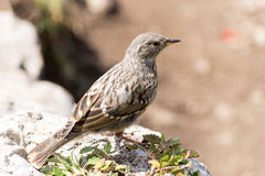 Alpine Accentor (Prunella collaris). The alpine accentor (Prunella collaris) is a small passerine bird with pale belly and breast and Royalty Free Stock Images
