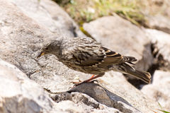 Alpine Accentor (Prunella collaris). The alpine accentor (Prunella collaris) is a small passerine bird with pale belly and breast and Royalty Free Stock Image