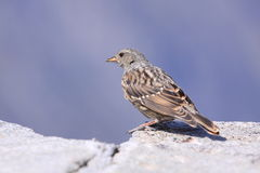 Alpine accentor. On the rock Royalty Free Stock Photography