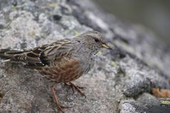 Alpine accentor Prunella collaris. An alpine accentor spotted in Polish Tatra Mountains. Those birds are quite rare, but not endangered yet Royalty Free Stock Photos