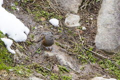 Alpine Accentor Standing on a Rock. A pretty little bid about the size of a robin with gray head, black, brown and white speckled wings and underside, this Royalty Free Stock Image