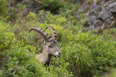 Alpine. The Alpine ibex, also known as the steinbock or bouquetin, is a species of wild goat that lives in the mountains of the European Alps. It is a sexually Royalty Free Stock Images