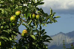 Alpine apples. Apples in a tree with mountains in the background (out of DOF Royalty Free Stock Photography