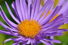 Alpine aster Royalty Free Stock Photography