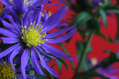 Alpine aster Stock Photos