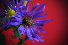 Alpine aster royalty free stock image