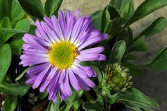 Aster Alpinus Goliath Stock Image