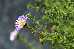 Free Alpine Aster Dunkle Schoene Royalty Free Stock Image - 124471776