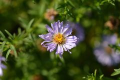 Free Alpine Aster Dunkle Schoene Stock Images - 125827564