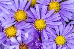 Alpine aster Royalty Free Stock Images