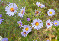 Alpine aster flower in wide angle view stock photo