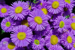 Alpine Aster Royalty Free Stock Photos